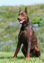 pixwords antworten DOBERMANN