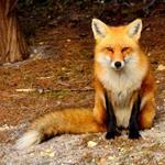 Pixwords FOX