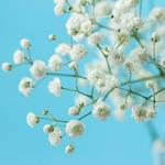 pixwords solution GYPSOPHILE